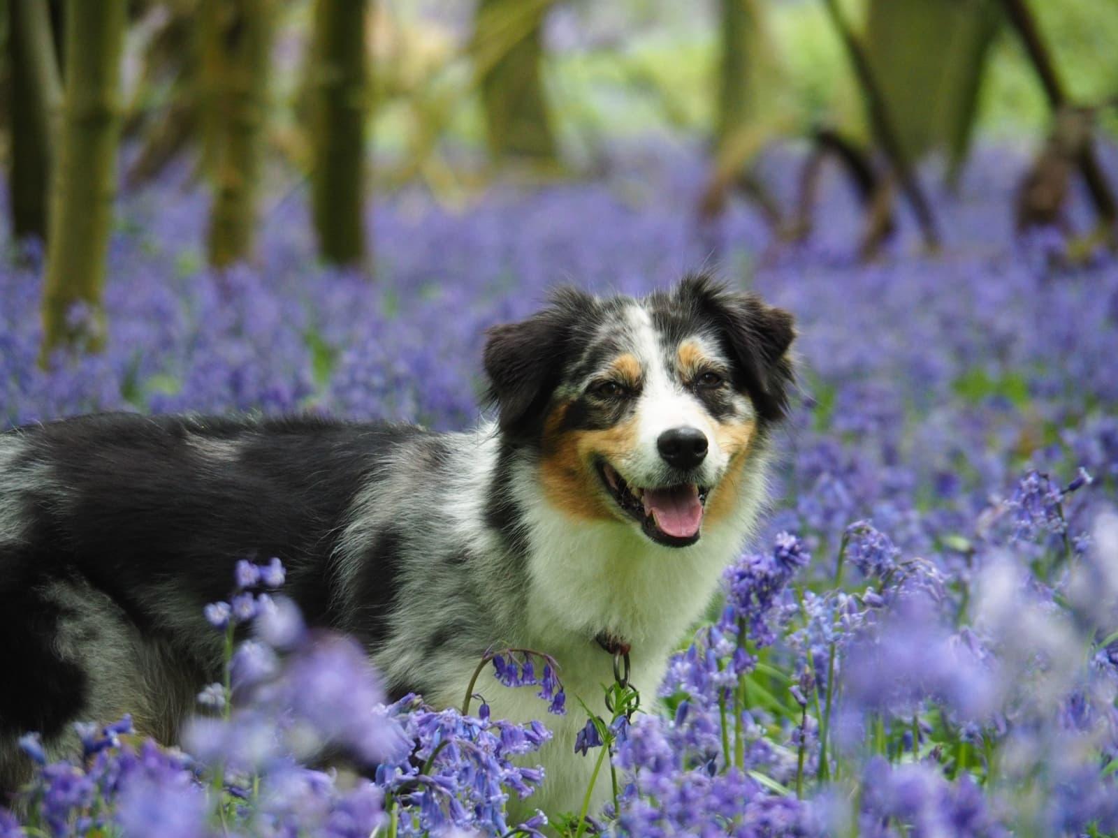 Hund-Zuri-Bluebells-England-2020