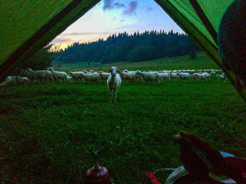 sheep in poland