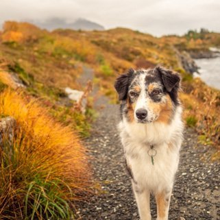 Australian Shepard in Norway