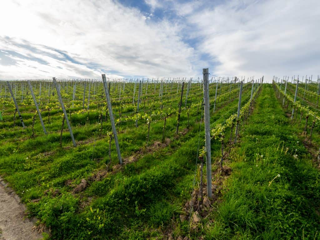 Vineyards near Baden-Baden